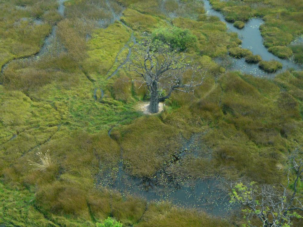 Baobab - ganz alleine