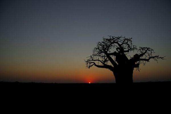 Baobab Sundowner