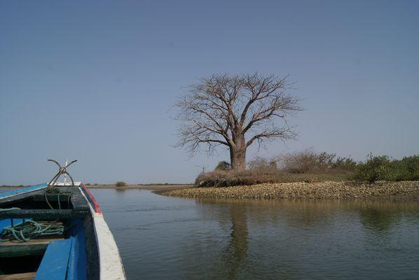 Baobab sur l'ile au oiseau (siné saloum sénégal)