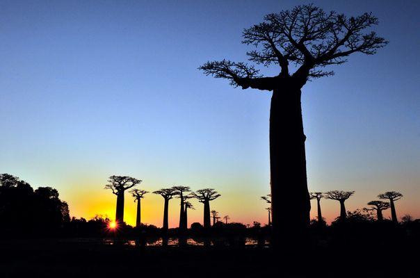 baobabs (morandave)