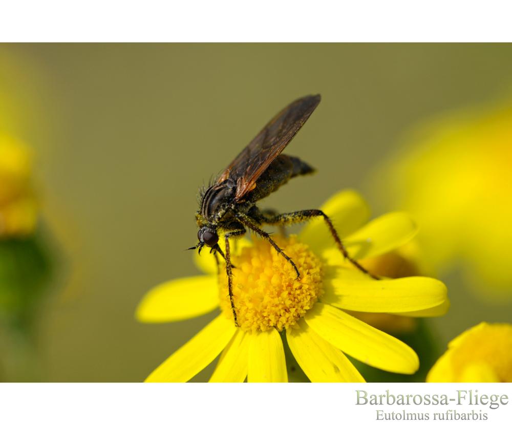 --- Barbarossa-Fliege ---