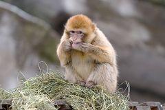 Barbary Macaque (Berberaffe)