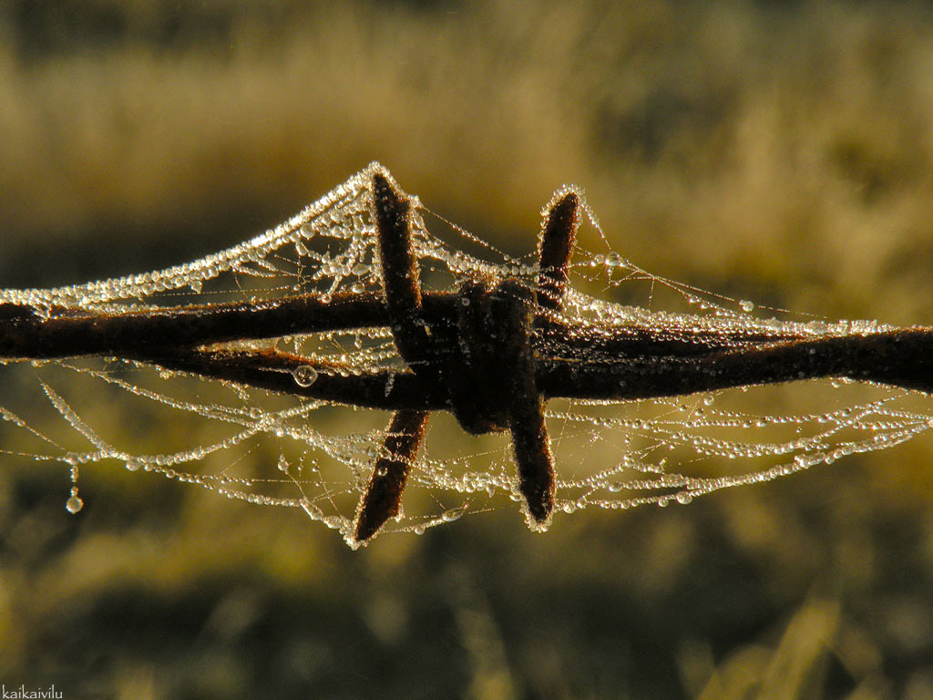 Barbed Wire, cobwebs and dew drops