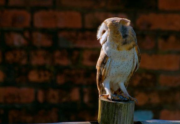Barn Owl, South Africa