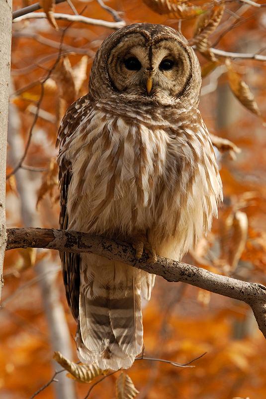 Barred Owl (Strix varia, Streifenkauz)