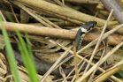 Barrenringelnatter (Natrix n.helvetica)