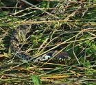 Barrenringelnatter ( Natrix n.helvetica) Tessin.