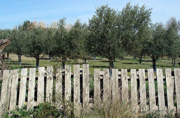 Barrière et oliviers provinciaux.
