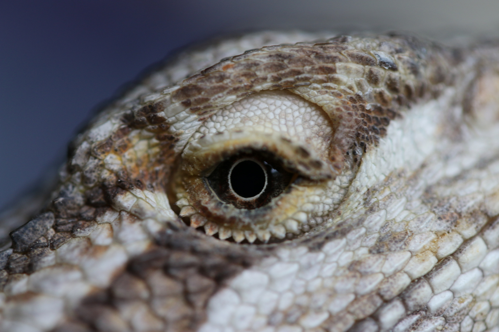 Bartagamen Auge