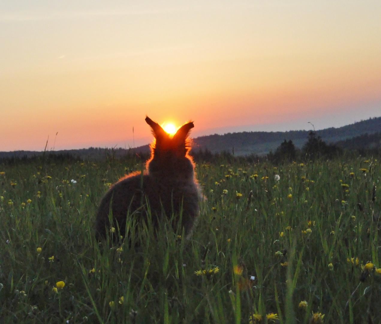 Bartkaninchen 35: Sonnenuntergang