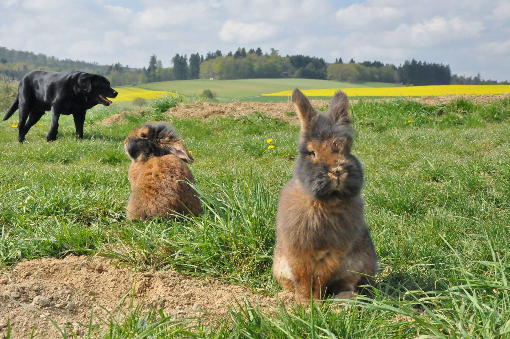 Bartkaninchen im Feld