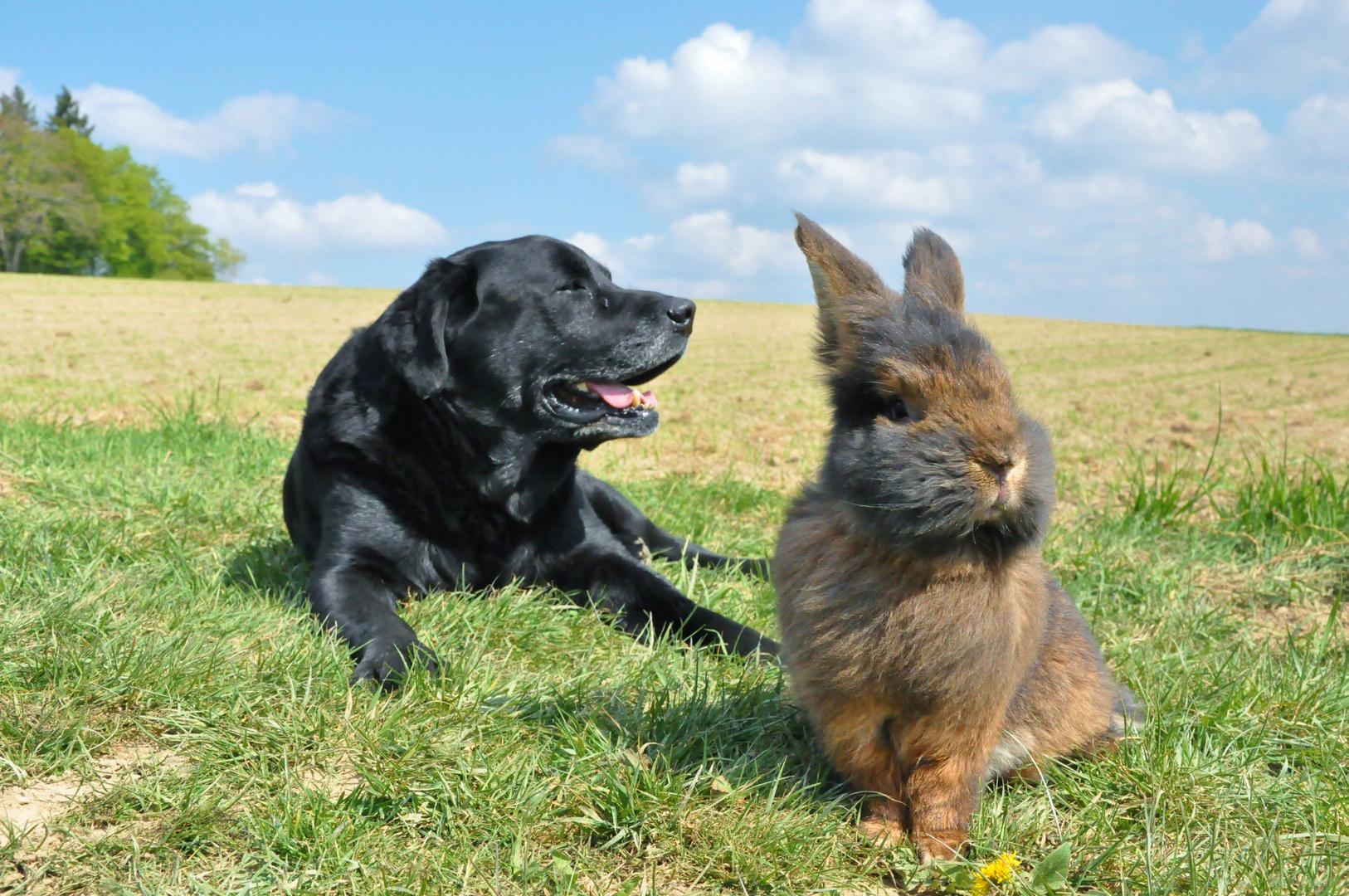 Bartkaninchen und Hund