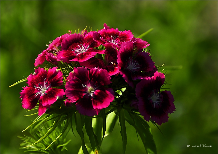 bartnelke foto bild pflanzen pilze flechten bl ten kleinpflanzen gartenpflanzen und. Black Bedroom Furniture Sets. Home Design Ideas