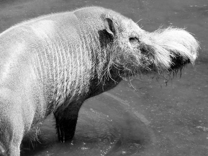 Bartschwein