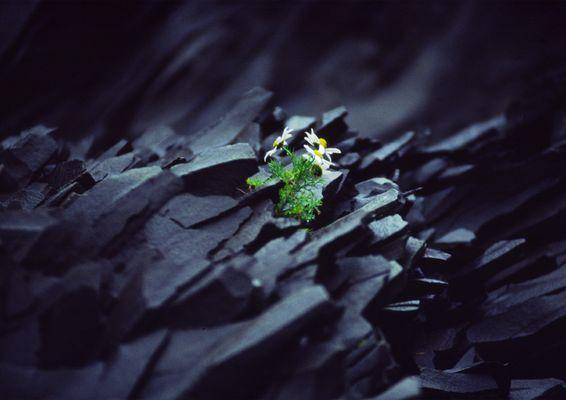 Basaltblume