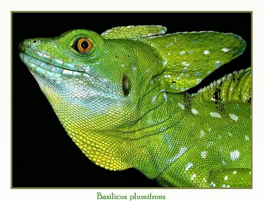 Basilicus plumifrons