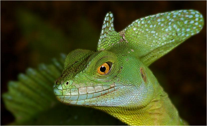 Basiliscus plumifrons oder auch