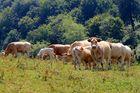 Baskische Kühe