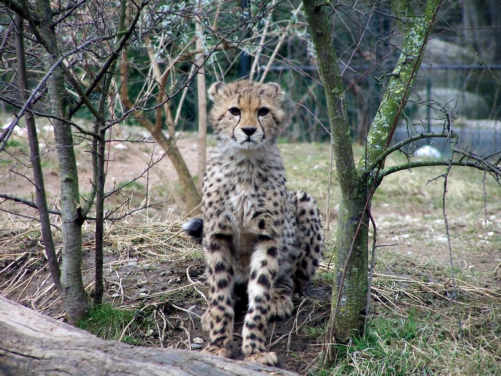 Basler Gepardennachwuchs