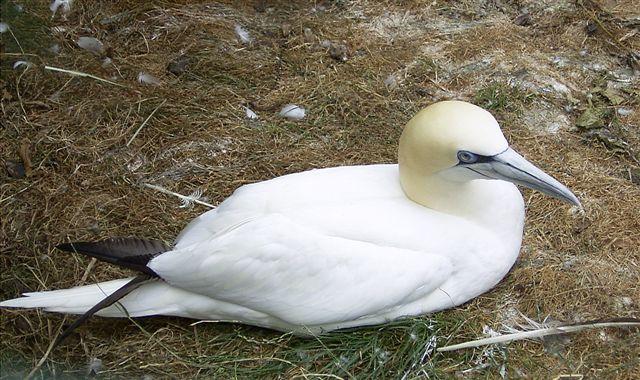 Basstölpel auf seinem Nest