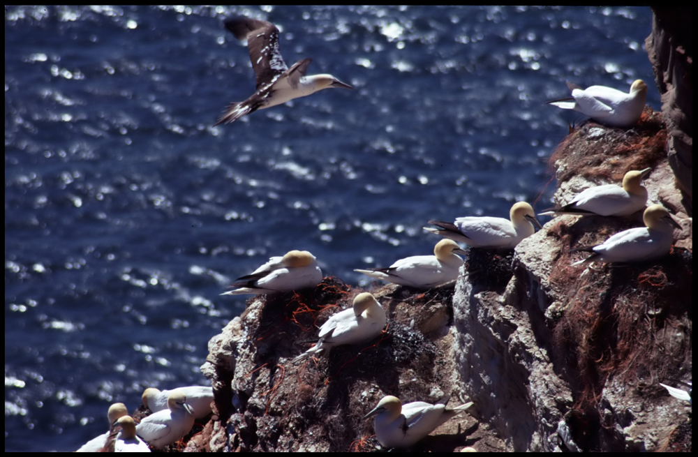 Basstölpel-Kolonie auf Helgoland