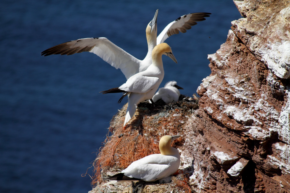 Basstölpel mit Brut beim Vogelfelsen Helgoland