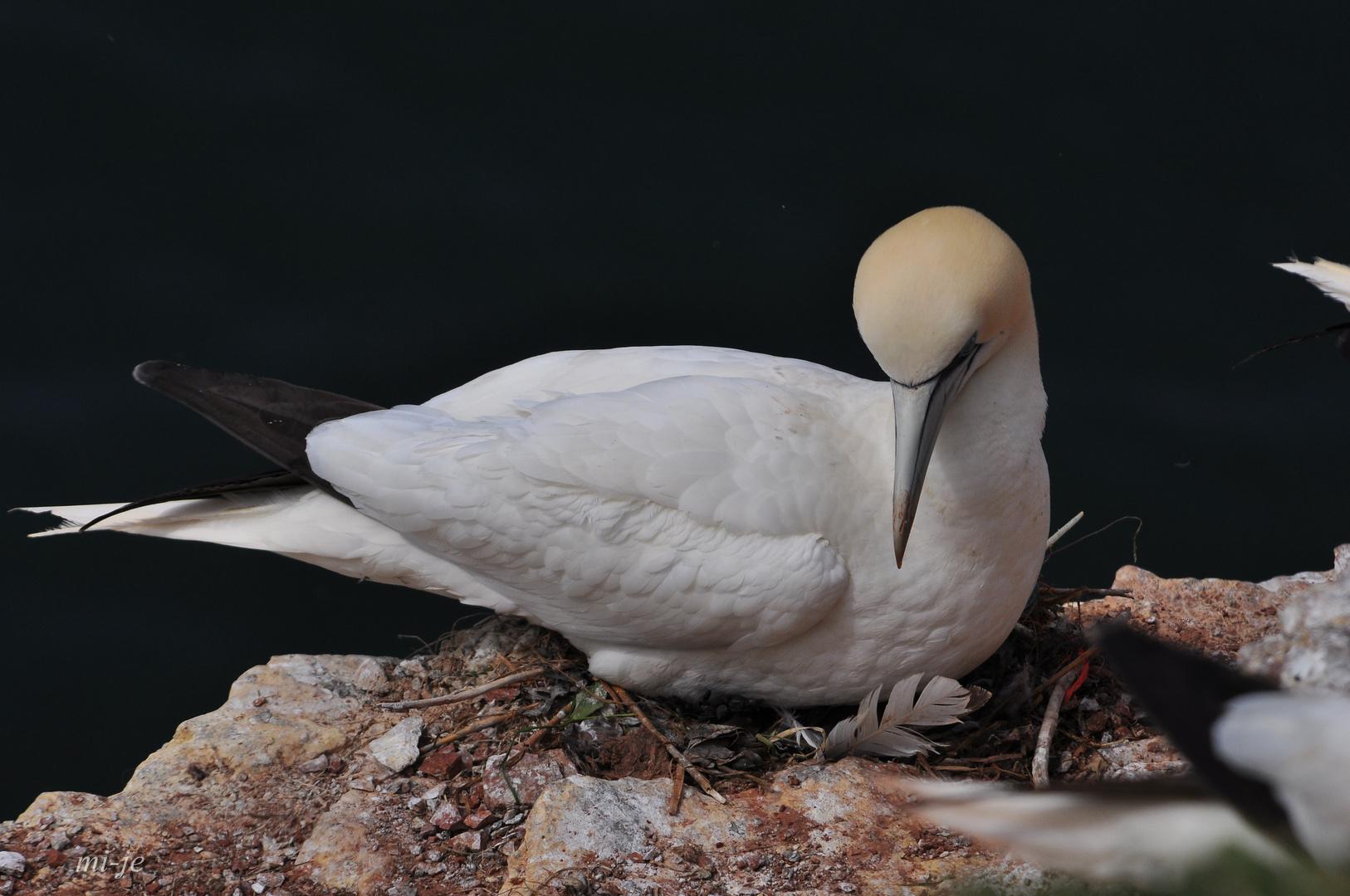 Basstölpel (Morus bassanus); Helgoland
