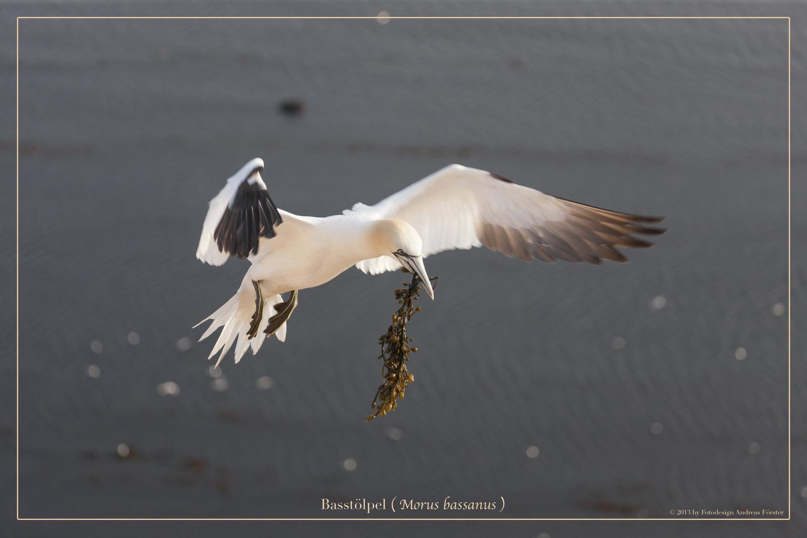 Basstölpel vor Helgoland 25