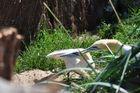 Basstölpel ( Zoo am Meer Bremerhaven )