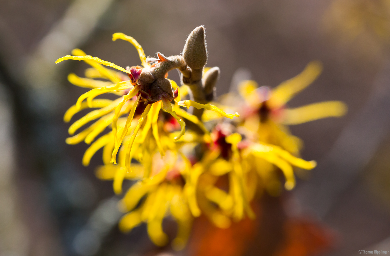 Bastard Zaubernuss (Hamamelis x intermedia Rehd (H.japonica x mollis)...