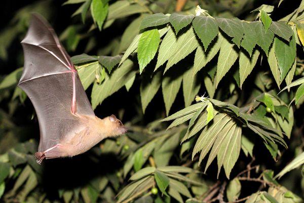 Bat in Bali auf Nahrungssuche
