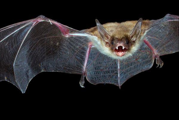 Bat-Porträt