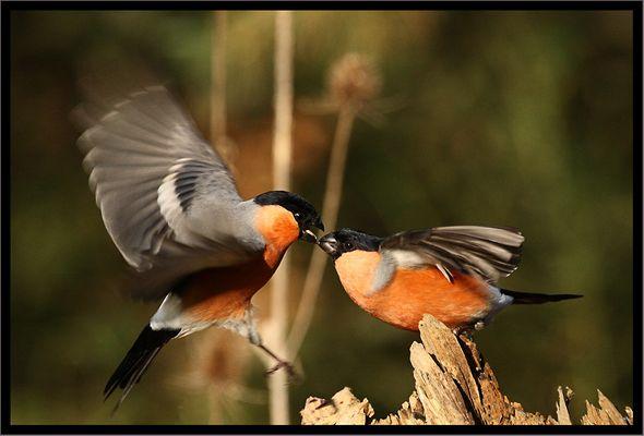 bataille de bouvreuils
