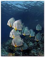 Batfish 3