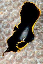 batfish juvenile (Platax pinnatus)