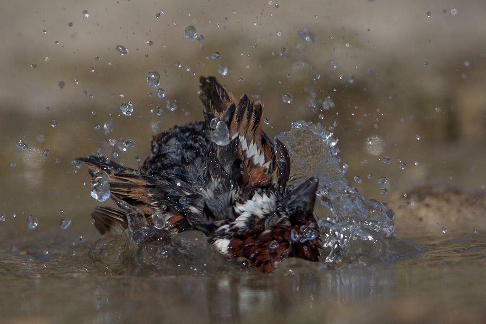 Bathing tree sparrow