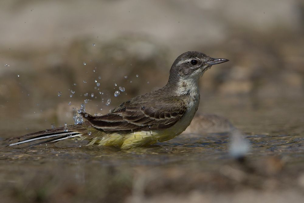 Bathing wagtail