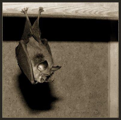 Bats and Bites 1