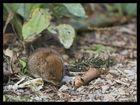 Battert-Mäuschen
