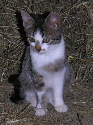 Bauern-Katze