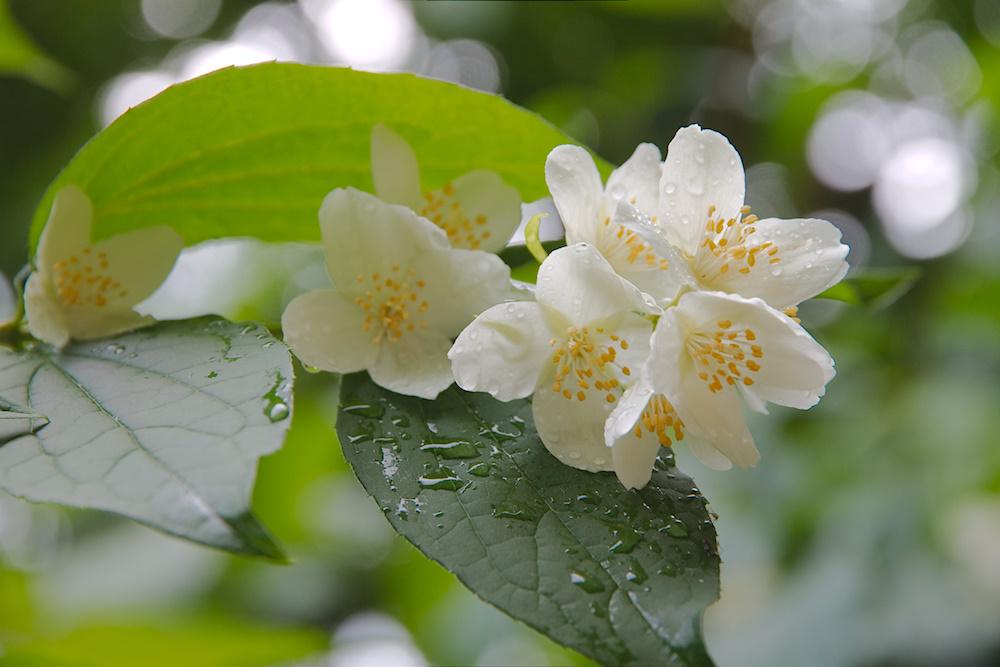 Bauernjasmin in Blüte