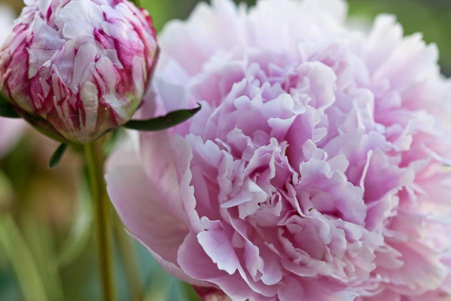 bauernrosen foto bild pflanzen pilze flechten bl ten kleinpflanzen rosen bilder auf. Black Bedroom Furniture Sets. Home Design Ideas