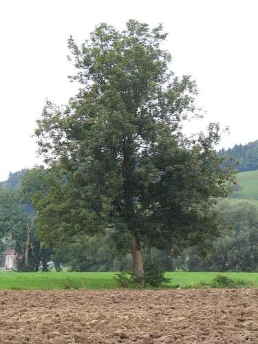 Baum 40
