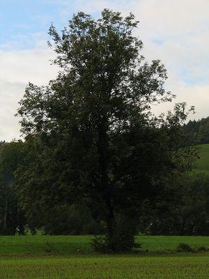 Baum 42