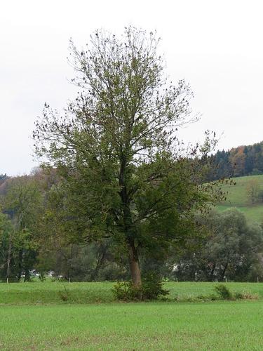 Baum 44