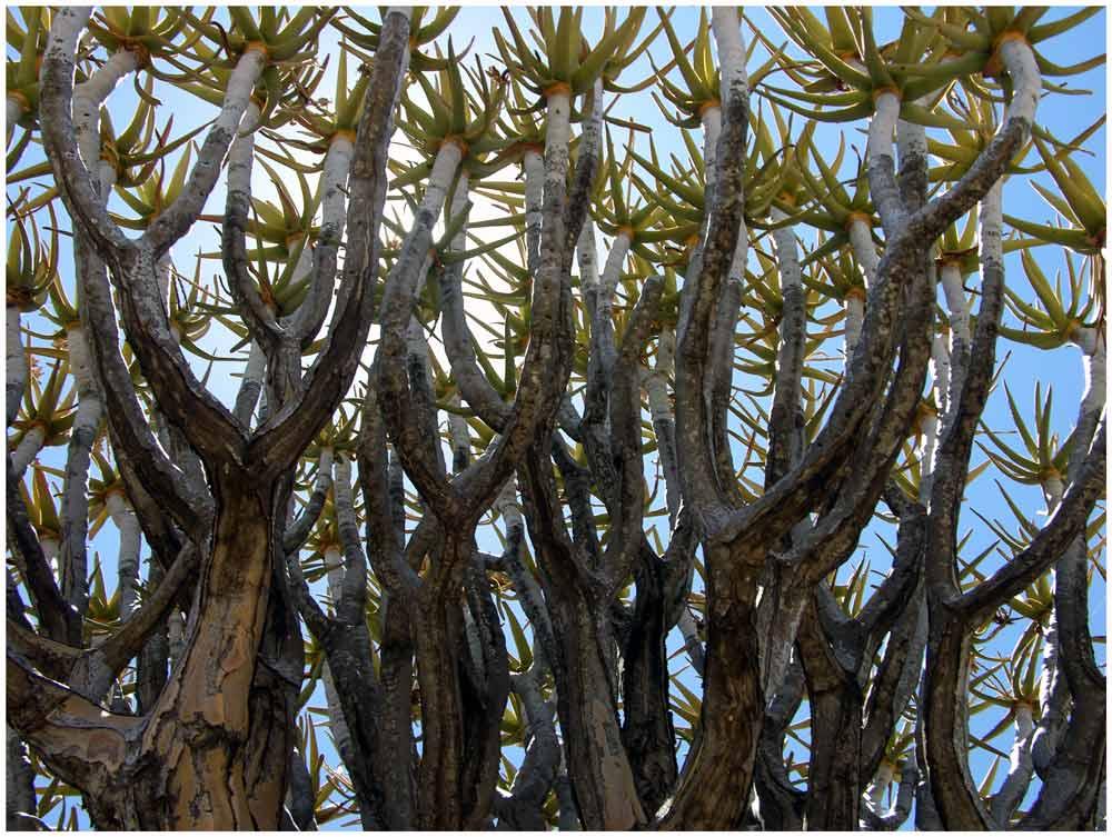 Baum Aloe