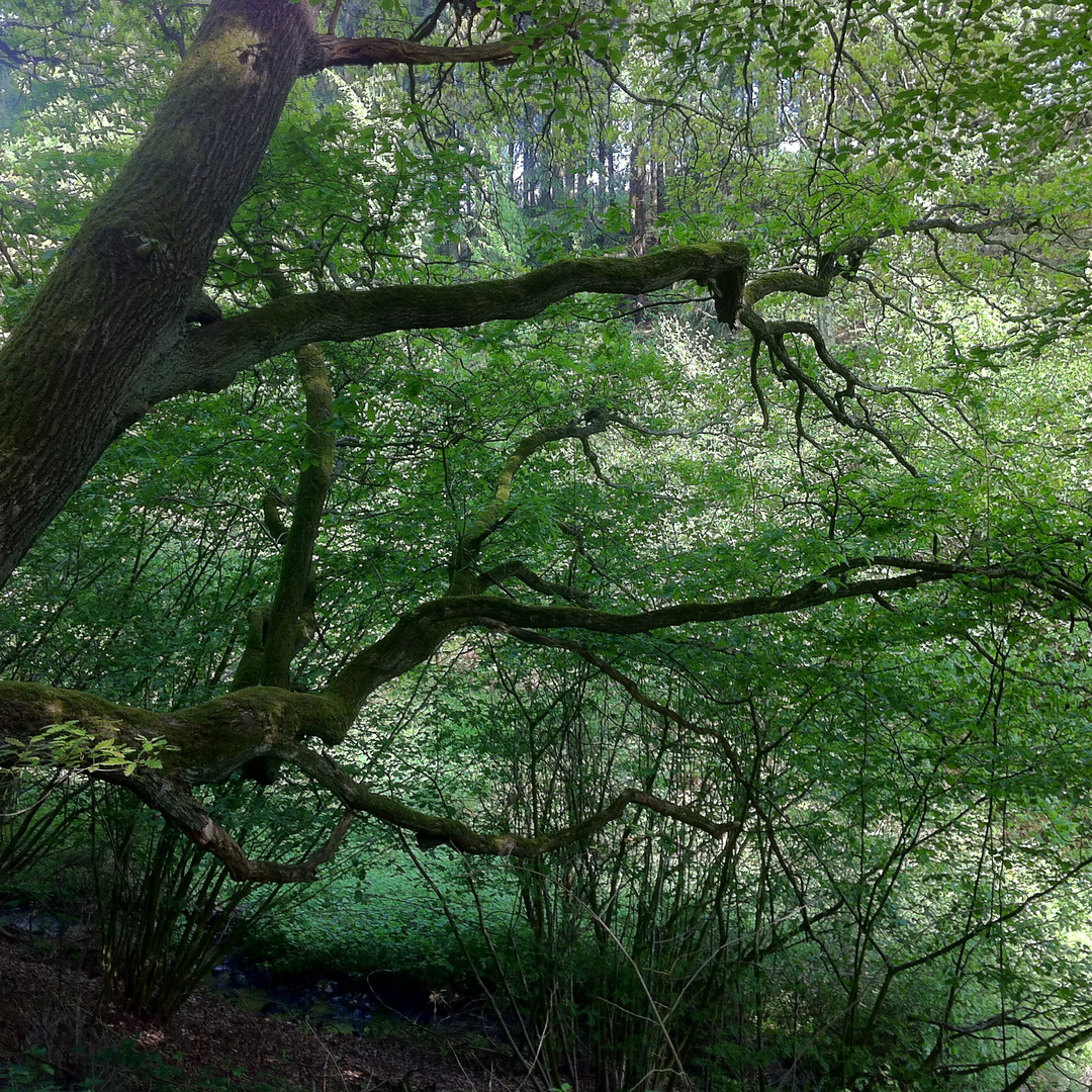 Baum am Bosselbach in Vossenack in der Eifel