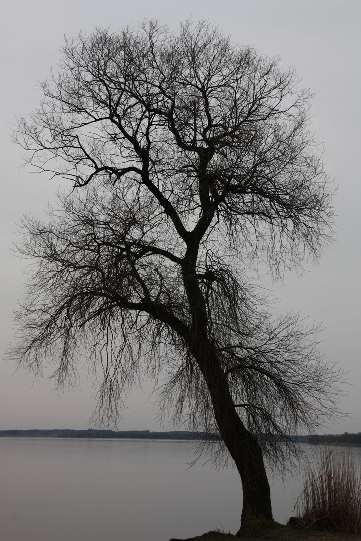 Baum am Chiemsee