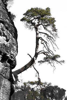 Baum am Fels