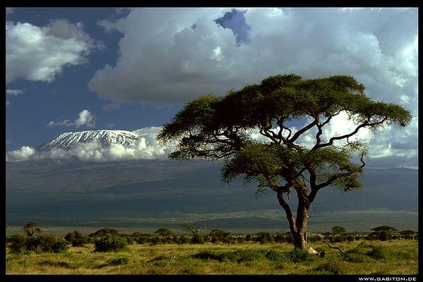 baum am kilimanjaro